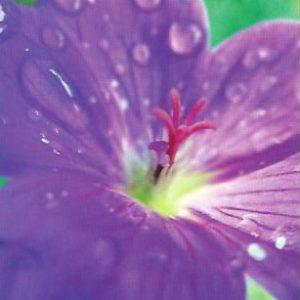Postkarte Regenblume
